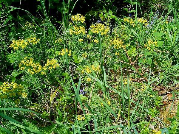 Cypress Spurge (Euphorbia Cyparissias) http://www.sagebud.com/cypress-spurge-euphorbia-cyparissias