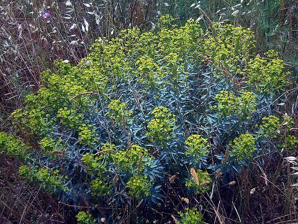Tree Spurge (Euphorbia Dendroides) http://www.sagebud.com/tree-spurge-euphorbia-dendroides
