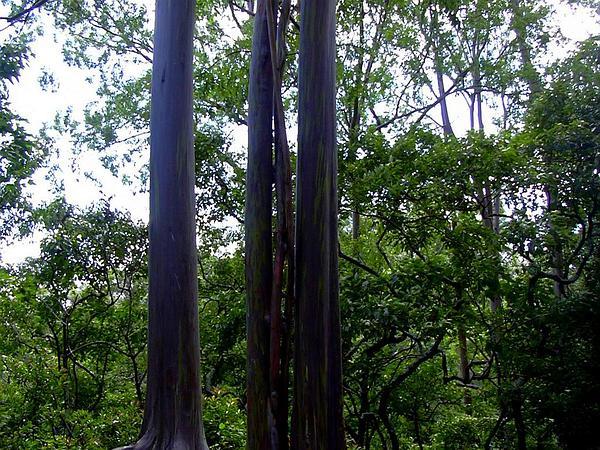 Indonesian Gum (Eucalyptus Deglupta) http://www.sagebud.com/indonesian-gum-eucalyptus-deglupta/
