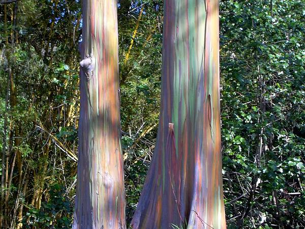 Indonesian Gum (Eucalyptus Deglupta) http://www.sagebud.com/indonesian-gum-eucalyptus-deglupta