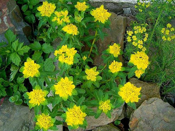 Cushion Spurge (Euphorbia Epithymoides) http://www.sagebud.com/cushion-spurge-euphorbia-epithymoides