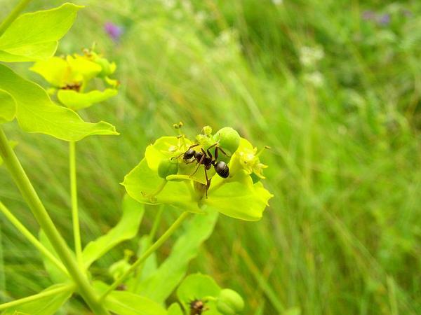 Leafy Spurge (Euphorbia Esula) http://www.sagebud.com/leafy-spurge-euphorbia-esula