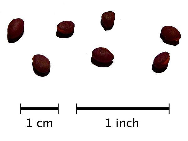 European Spindletree (Euonymus Europaeus) http://www.sagebud.com/european-spindletree-euonymus-europaeus
