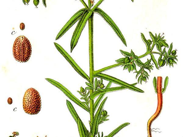 Dwarf Spurge (Euphorbia Exigua) http://www.sagebud.com/dwarf-spurge-euphorbia-exigua/