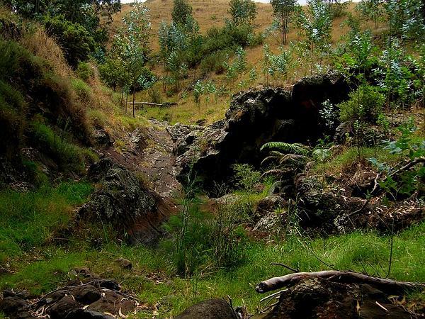 Tasmanian Bluegum (Eucalyptus Globulus) http://www.sagebud.com/tasmanian-bluegum-eucalyptus-globulus