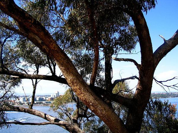 Tuart (Eucalyptus Gomphocephala) http://www.sagebud.com/tuart-eucalyptus-gomphocephala