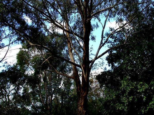 Mountain Graygum (Eucalyptus Goniocalyx) http://www.sagebud.com/mountain-graygum-eucalyptus-goniocalyx