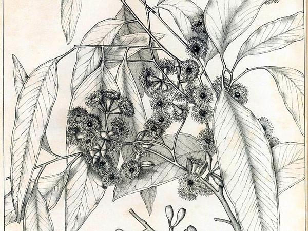 White Box (Eucalyptus Hemiphloia) http://www.sagebud.com/white-box-eucalyptus-hemiphloia