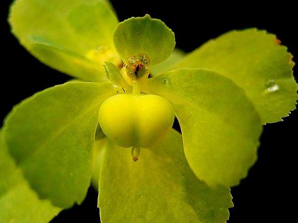 Madwoman's Milk (Euphorbia Helioscopia) http://www.sagebud.com/madwomans-milk-euphorbia-helioscopia