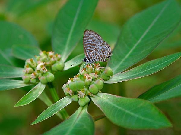 Mexican Fireplant (Euphorbia Heterophylla) http://www.sagebud.com/mexican-fireplant-euphorbia-heterophylla
