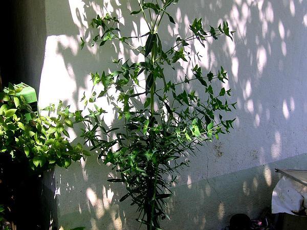 Moleplant (Euphorbia Lathyris) http://www.sagebud.com/moleplant-euphorbia-lathyris