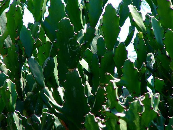 Mottled Spurge (Euphorbia Lactea) http://www.sagebud.com/mottled-spurge-euphorbia-lactea