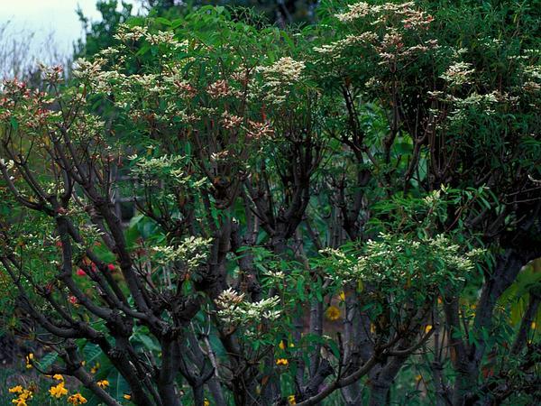 Pascuita (Euphorbia Leucocephala) http://www.sagebud.com/pascuita-euphorbia-leucocephala