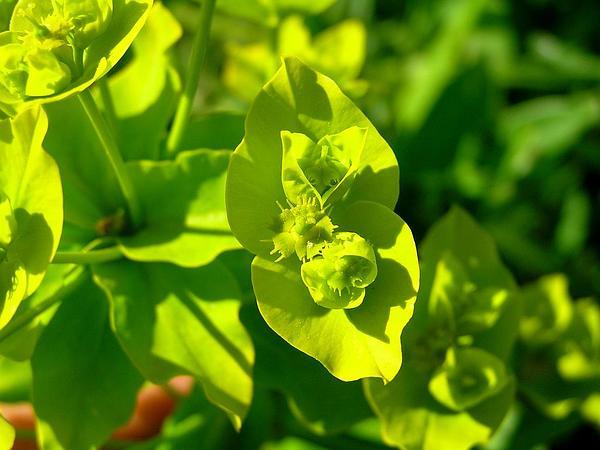 Shining Spurge (Euphorbia Lucida) http://www.sagebud.com/shining-spurge-euphorbia-lucida