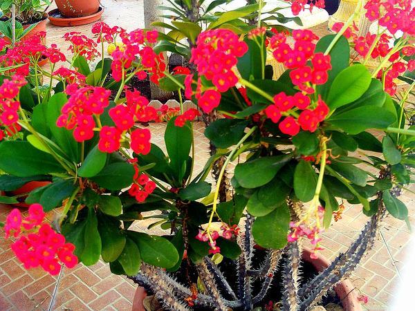 Christplant (Euphorbia Milii) http://www.sagebud.com/christplant-euphorbia-milii