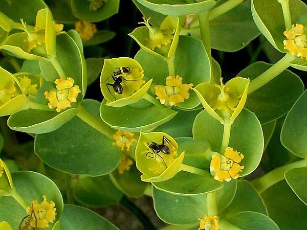 Myrtle Spurge (Euphorbia Myrsinites) http://www.sagebud.com/myrtle-spurge-euphorbia-myrsinites