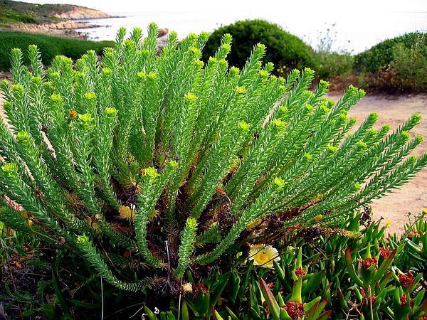 Sea Spurge (Euphorbia Paralias) http://www.sagebud.com/sea-spurge-euphorbia-paralias