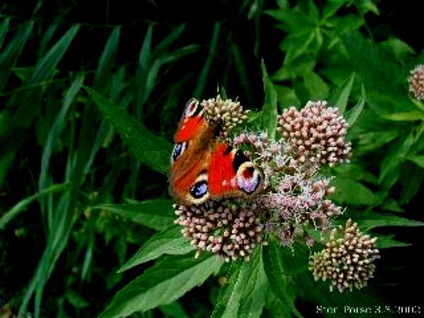 Thoroughwort (Eupatorium) http://www.sagebud.com/thoroughwort-eupatorium