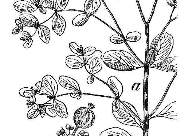 Petty Spurge (Euphorbia Peplus) http://www.sagebud.com/petty-spurge-euphorbia-peplus/
