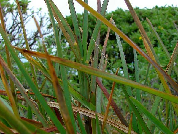 Pinewoods Fingergrass (Eustachys Petraea) http://www.sagebud.com/pinewoods-fingergrass-eustachys-petraea