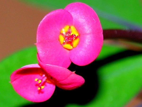 Spurge (Euphorbia) http://www.sagebud.com/spurge-euphorbia
