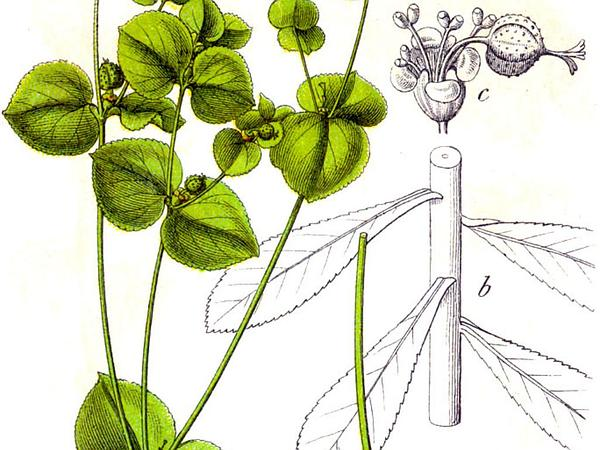 Broadleaf Spurge (Euphorbia Platyphyllos) http://www.sagebud.com/broadleaf-spurge-euphorbia-platyphyllos