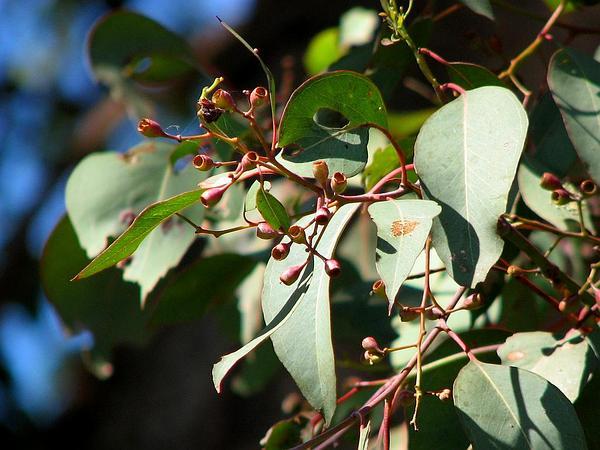 Redbox (Eucalyptus Polyanthemos) http://www.sagebud.com/redbox-eucalyptus-polyanthemos