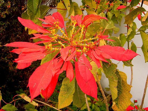 Poinsettia (Euphorbia Pulcherrima) http://www.sagebud.com/poinsettia-euphorbia-pulcherrima