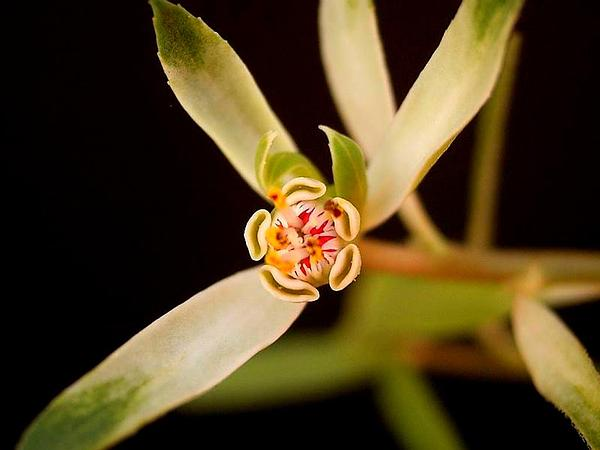 Sun Spurge (Euphorbia Radians) http://www.sagebud.com/sun-spurge-euphorbia-radians