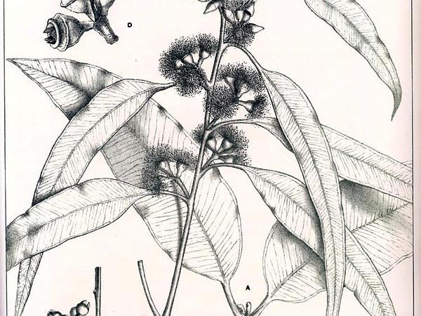 Redmahogany (Eucalyptus Resinifera) http://www.sagebud.com/redmahogany-eucalyptus-resinifera