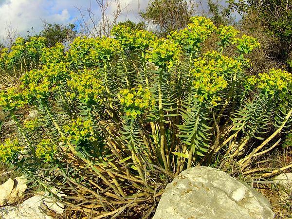 Upright Myrtle Spurge (Euphorbia Rigida) http://www.sagebud.com/upright-myrtle-spurge-euphorbia-rigida