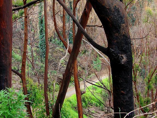Swampmahogany (Eucalyptus Robusta) http://www.sagebud.com/swampmahogany-eucalyptus-robusta/