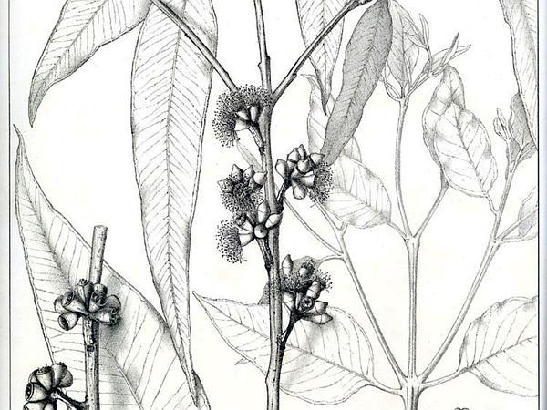 Sydney Bluegum (Eucalyptus Saligna) http://www.sagebud.com/sydney-bluegum-eucalyptus-saligna