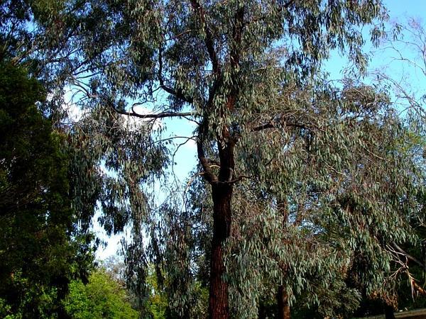 Red Ironbark (Eucalyptus Sideroxylon) http://www.sagebud.com/red-ironbark-eucalyptus-sideroxylon/