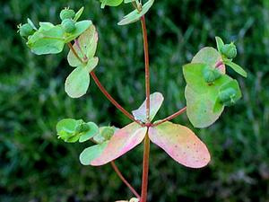 Warty Spurge