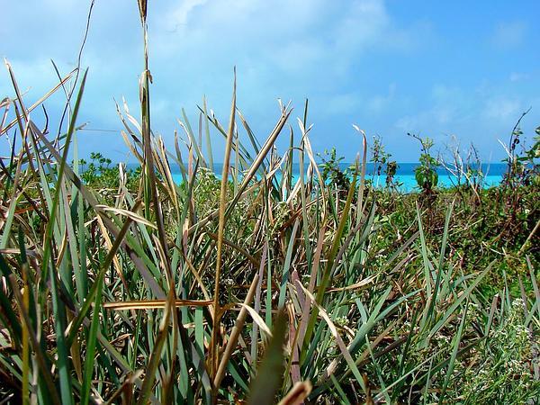Fingergrass (Eustachys) http://www.sagebud.com/fingergrass-eustachys