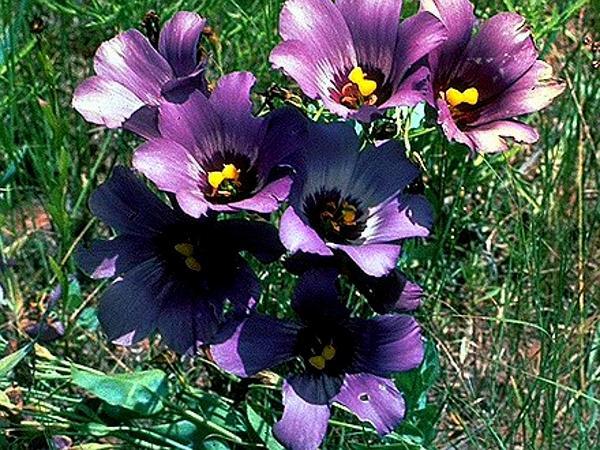 Prairie Gentian (Eustoma) http://www.sagebud.com/prairie-gentian-eustoma