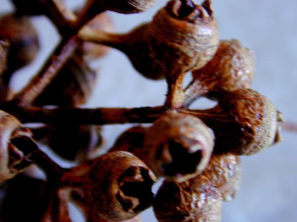 Forest Redgum (Eucalyptus Tereticornis) http://www.sagebud.com/forest-redgum-eucalyptus-tereticornis/