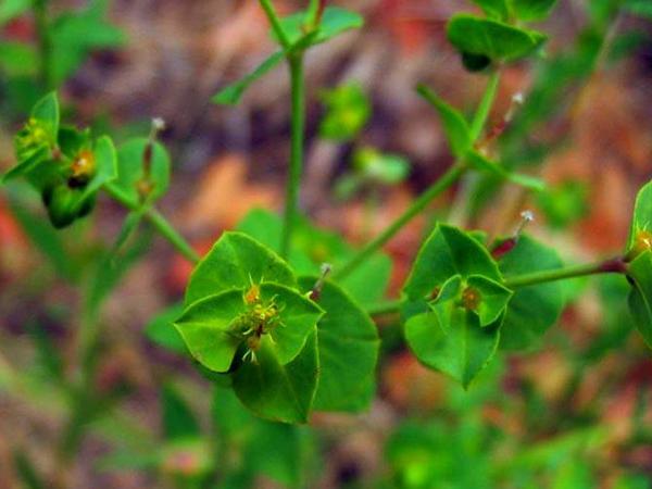 Geraldton Carnation Weed (Euphorbia Terracina) http://www.sagebud.com/geraldton-carnation-weed-euphorbia-terracina