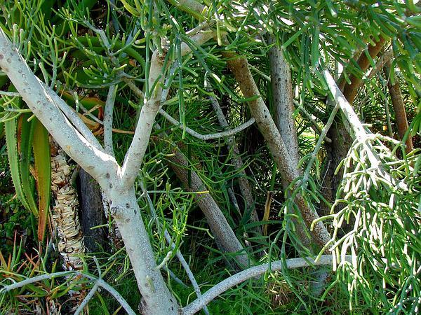 Indiantree Spurge (Euphorbia Tirucalli) http://www.sagebud.com/indiantree-spurge-euphorbia-tirucalli
