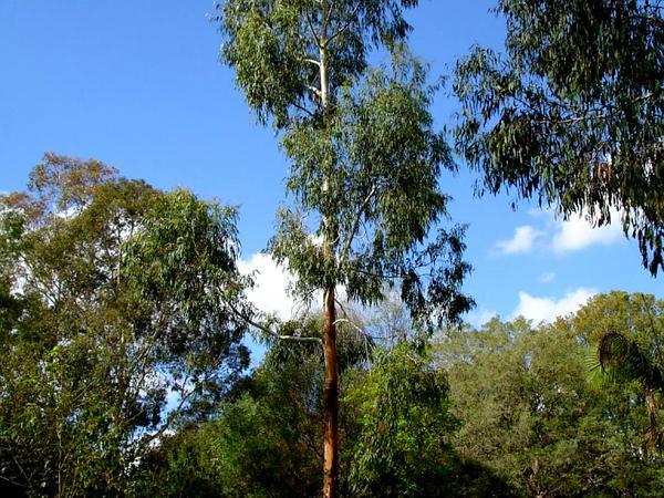 Manna Gum (Eucalyptus Viminalis) http://www.sagebud.com/manna-gum-eucalyptus-viminalis/