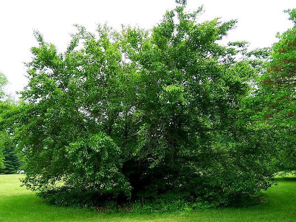 American Beech (Fagus Grandifolia) http://www.sagebud.com/american-beech-fagus-grandifolia
