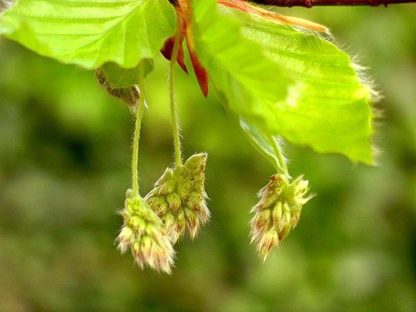 Beech (Fagus) http://www.sagebud.com/beech-fagus