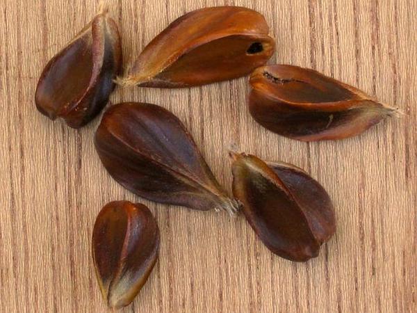European Beech (Fagus Sylvatica) http://www.sagebud.com/european-beech-fagus-sylvatica/