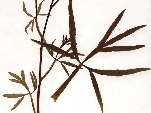 Sickleweed (Falcaria Vulgaris) http://www.sagebud.com/sickleweed-falcaria-vulgaris