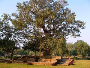 Peepul Tree