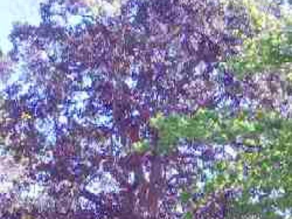 Port Jackson Fig (Ficus Rubiginosa) http://www.sagebud.com/port-jackson-fig-ficus-rubiginosa