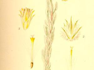 Common Cottonrose