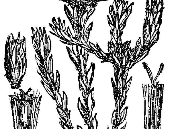 Common Cottonrose (Filago Vulgaris) http://www.sagebud.com/common-cottonrose-filago-vulgaris