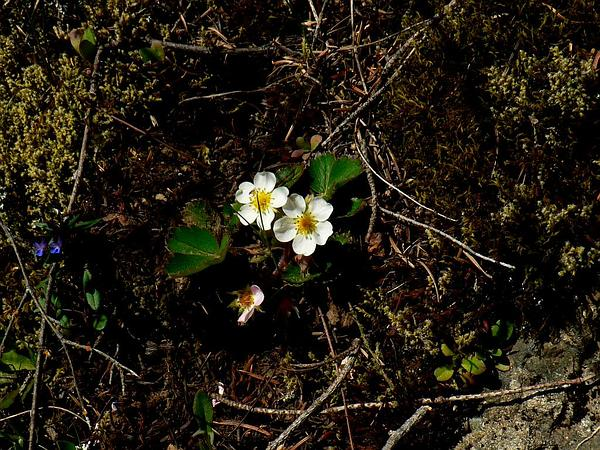 Virginia Strawberry (Fragaria Virginiana) http://www.sagebud.com/virginia-strawberry-fragaria-virginiana